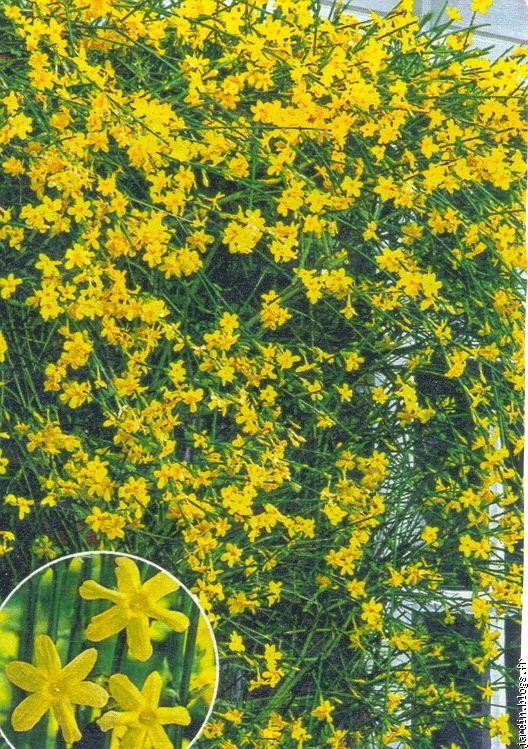 superior jasmin d hiver jaune 4 le jasmin du0027hiver homeezy. Black Bedroom Furniture Sets. Home Design Ideas